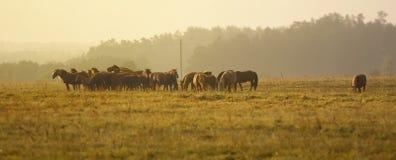 Paarden op het gebied bij zonsopgang Royalty-vrije Stock Foto