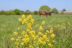 Paarden op het gras in het weiland Gele bloemen op een paardachtergrond Stock Fotografie