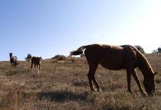 Paarden op het plateau van de berg Stock Afbeelding