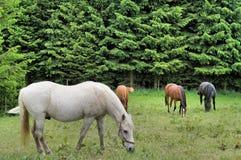 Paarden op het weiland Royalty-vrije Stock Afbeelding