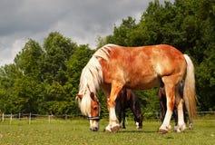 Paarden op landbouwbedrijf Royalty-vrije Stock Fotografie