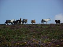 Paarden op Moor Stock Afbeelding