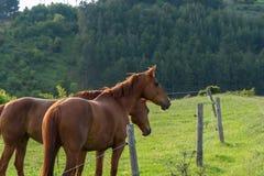 Paarden op platteland op zonsopgang Stock Fotografie