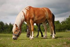 Paarden op weide Stock Afbeelding
