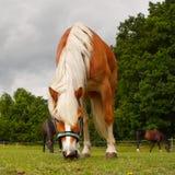 Paarden op weide Royalty-vrije Stock Foto's