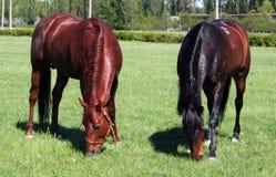Paarden op weiland Stock Foto's