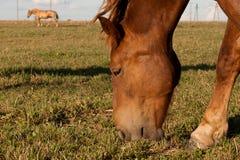 Paarden op weiland Stock Afbeelding