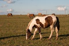 Paarden op weiland Royalty-vrije Stock Foto's