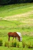 Paarden op weiland Royalty-vrije Stock Afbeelding