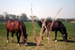 Paarden op weiland in Vlissingen Nederland royalty-vrije stock foto