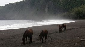 Paarden op zwart zandstrand Stock Foto's