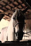 Paarden Portret Stock Afbeelding