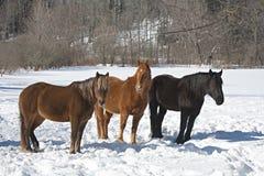 Paarden in sneeuw Stock Foto