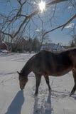 2017-02-10 paarden & Sneeuw Stock Foto