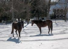 2017-02-10 paarden & Sneeuw Stock Foto's