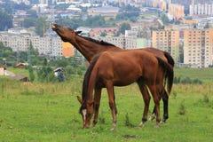 Paarden in stad? Stock Afbeelding