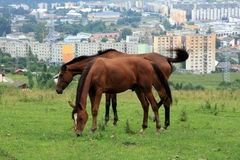 Paarden in stad? Royalty-vrije Stock Afbeeldingen
