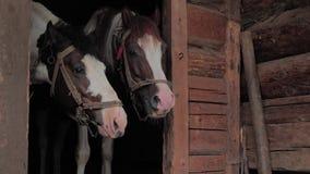 Paarden in stal Mooie paarden die op gras, haver wachten Twee paarden die rust in oude houten stal nemen Koe en stier stock videobeelden