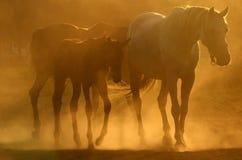 Paarden in stof Stock Fotografie