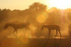 Paarden in stof Stock Afbeelding