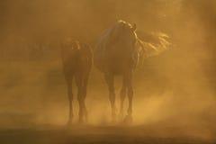 Paarden in stof Stock Foto's