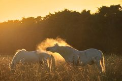 Paarden, Stof, en Licht Stock Foto