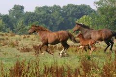 Paarden tijdens de vlucht Royalty-vrije Stock Foto