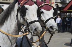 Paarden in uitrusting Stock Fotografie