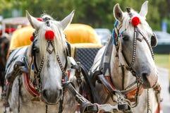Paarden in vervoer Royalty-vrije Stock Fotografie