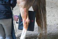 Paarden veterinair onderzoek met röntgenstraal in een verlamd paard het paard kan niet meer lopen stock foto