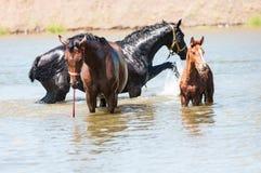 Paarden in water Stock Afbeeldingen
