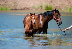 Paarden in water Stock Foto's