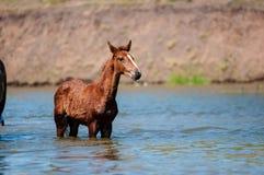 Paarden in water Royalty-vrije Stock Fotografie