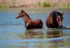 Paarden in water Stock Fotografie