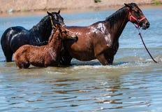 Paarden in water Royalty-vrije Stock Foto's