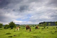 Paarden in weide Royalty-vrije Stock Afbeeldingen