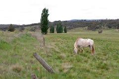 Paarden in Weiland Stock Afbeeldingen