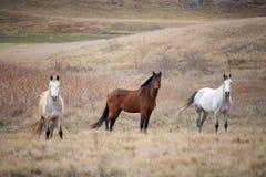 Paarden in Weiland Royalty-vrije Stock Afbeelding