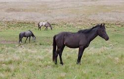Paarden in Weiland Royalty-vrije Stock Fotografie