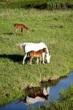 Paarden in weiland Stock Foto's