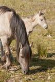 Paarden, wildhorses Royalty-vrije Stock Afbeelding