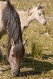 Paarden, wildhorses Royalty-vrije Stock Afbeeldingen
