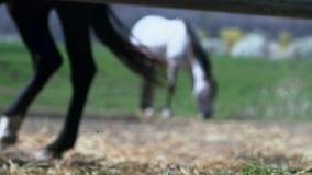 Paardenbenen in het stabiele lopen stock footage