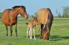 Paardenfamilie in een weide Stock Afbeelding
