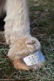 Paardenlymphedema stock afbeelding