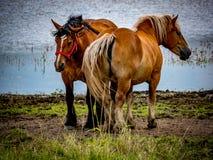 Paardenpaarden op de weide Royalty-vrije Stock Fotografie