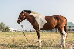 Paardenrennenverblijf die gras tussen het uitoefenen van elke dag eten Stock Afbeelding