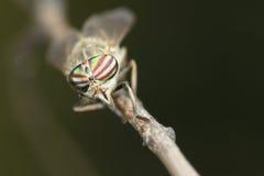 paardevlieg stock afbeeldingen