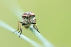paardevlieg stock afbeelding