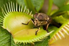 Paardevlieg en flytrap royalty-vrije stock foto's